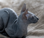 The Rarest and Most Expensive Cat Breeds