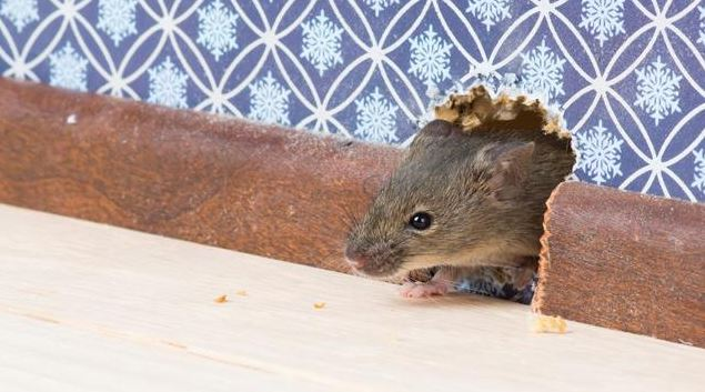 Rats! How To Keep Rodents and Other Pests Out Of Your Home This Fall